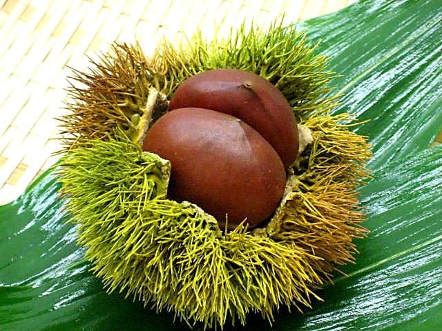 Chestnut (large)