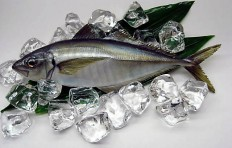 Horse mackerel (31 cm)-1
