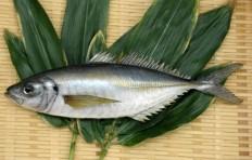 Horse mackerel (25 cm)-1