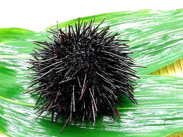 Large sea urchin