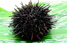 Small sea urchin