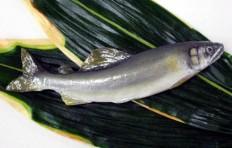 Sweetfish (16.5 cm)-2