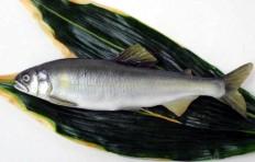 Sweetfish (23 cm)