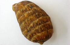 Taro corm (57/95mm)
